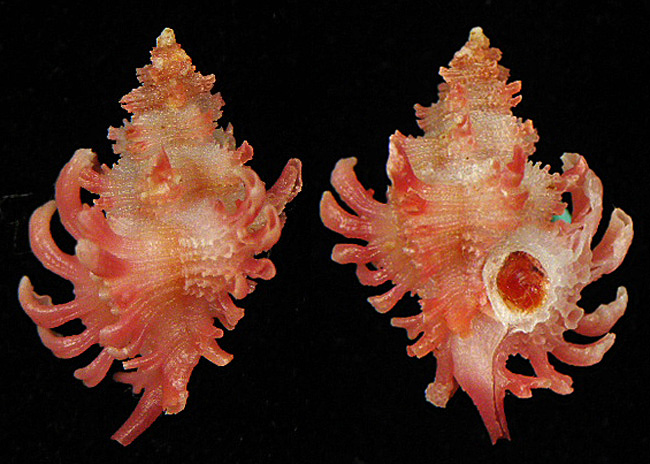 Favartia mactanensis - (Emerson & D'Attilio, 1979) 05410
