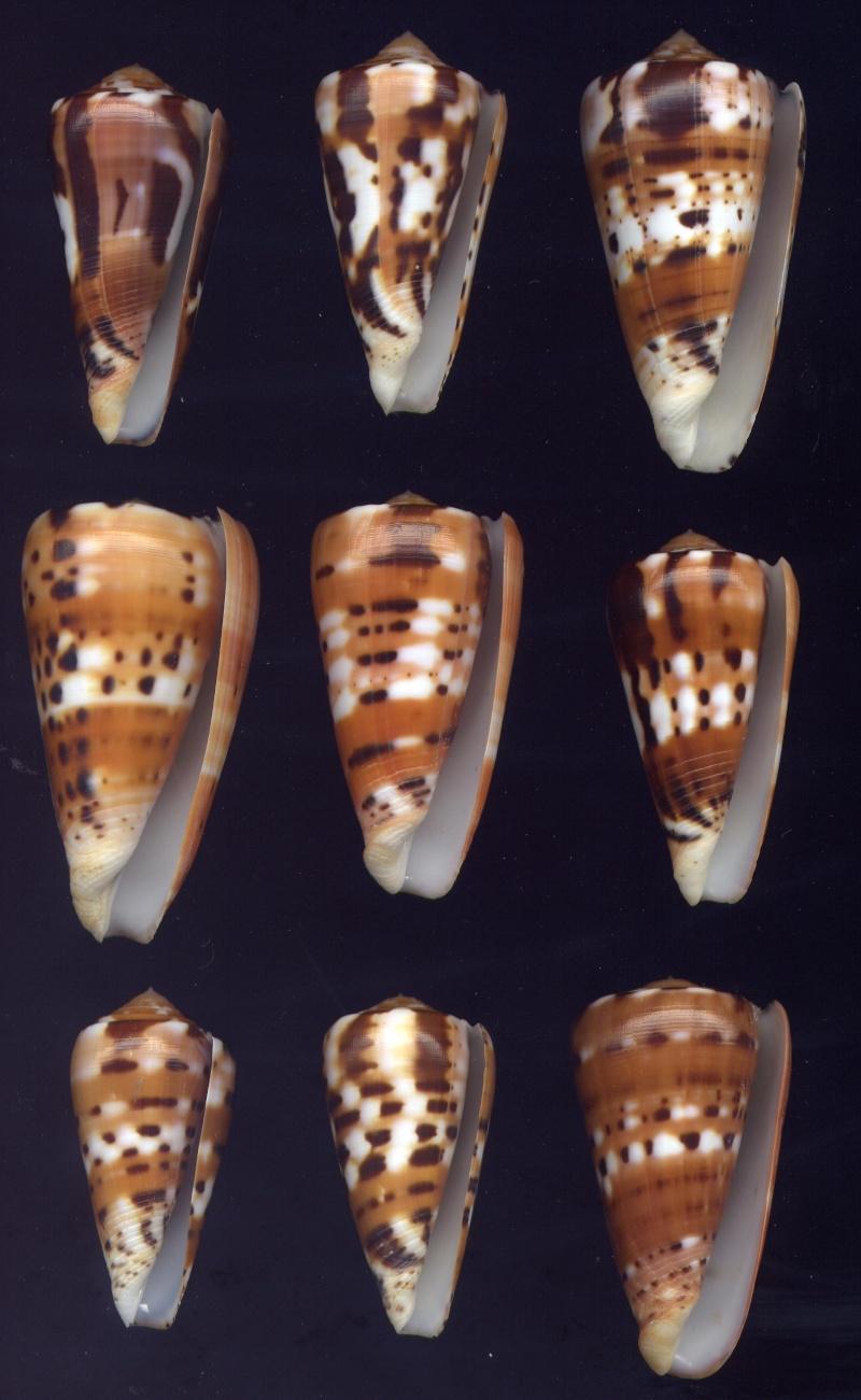 Conus (Pionoconus) barthelemyi  Bernardi, 1861 Bathe10