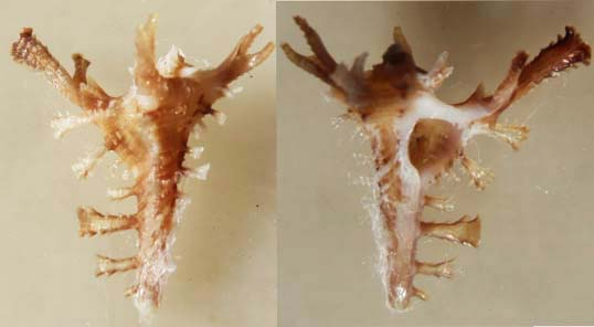 Homalocantha pisori - D'Attilio & Kosuge, 1989 P7120410