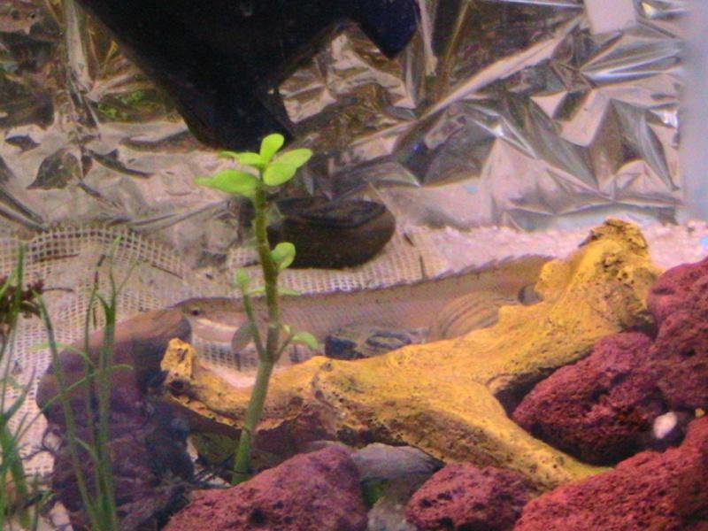 Dinosaur Bichirs  Bichir10