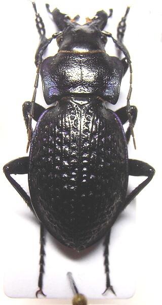 Car.(Cratocephalus) cicatricosus cicatricosus Fischer, 1842 Pa240014