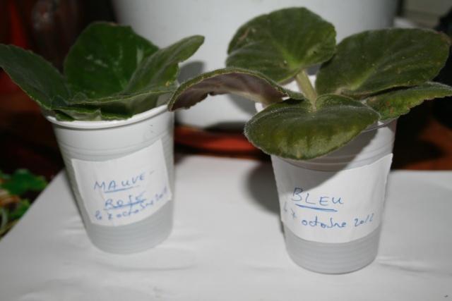 Les violettes africaines / violettes du cap(Saint Paulia). Entretien, espèces, des photos. Boutur10