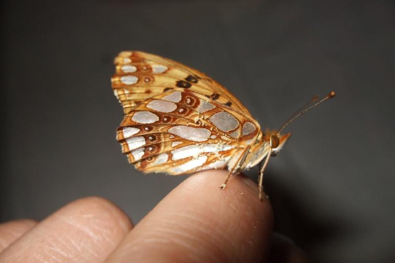 papillons Copy_o10