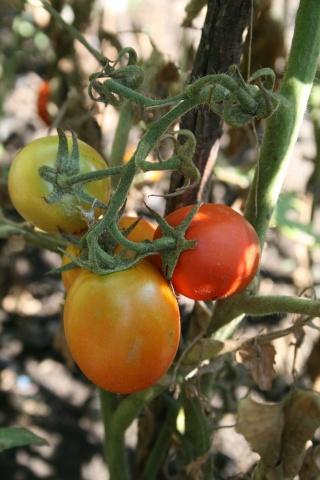 tomates Img_2312