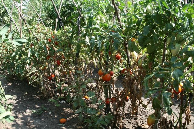 tomates Img_2710