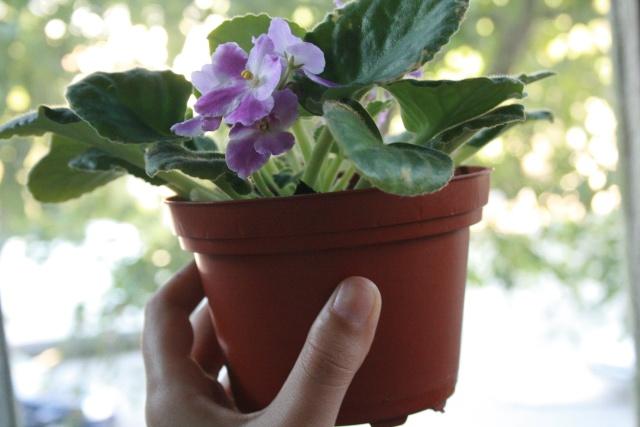 Les violettes africaines / violettes du cap(Saint Paulia). Entretien, espèces, des photos. Saint_10