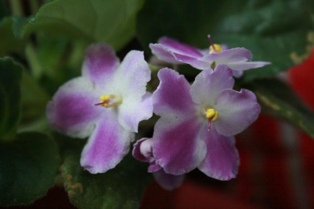 Les violettes africaines / violettes du cap(Saint Paulia). Entretien, espèces, des photos. Violet10