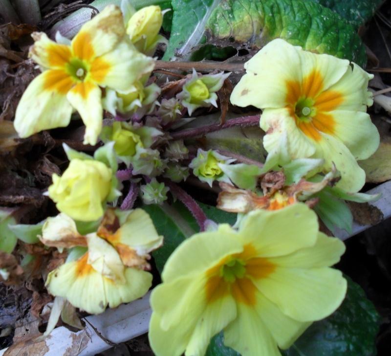 Floraisons de janvier - Page 2 00513