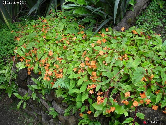 Rusticité Phymosia umbellata, centradenia floribunda et bégonia sutherlandii Bagoni11