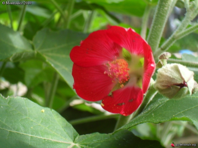 Rusticité Phymosia umbellata, centradenia floribunda et bégonia sutherlandii Phymos12