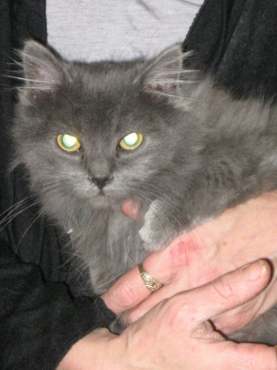 Toulouse chaton gris de 3 mois. - Page 2 Toulou11