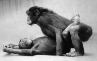 Le saviez-vous (Histoires vraies) - Page 6 Bonobo10