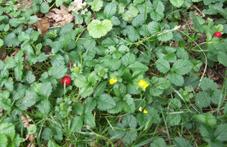 ça ressemble à une fraise des bois [Duchesnea indica] Plante12