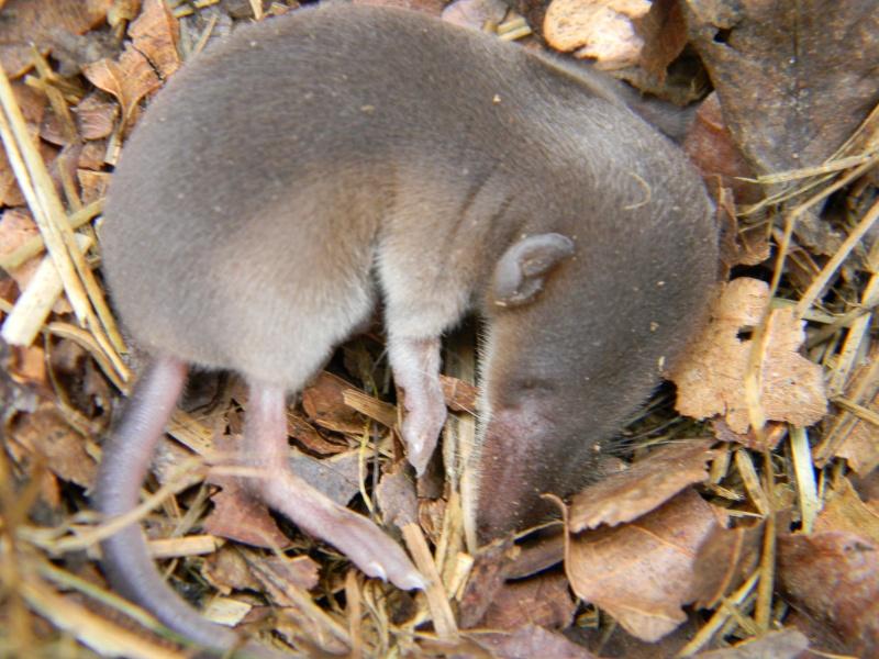 identification micro mammifère? Dscn3613