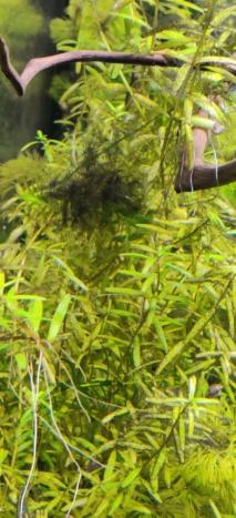 Algues dans mon aquarium - Page 3 Algues12