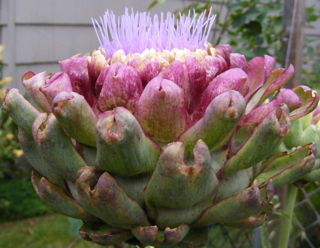 Friday Rookie topic: Globe Artichokes Artich11