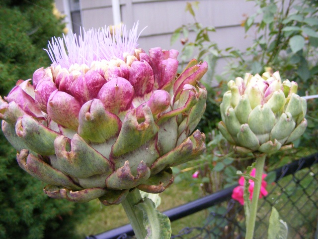 Friday Rookie topic: Globe Artichokes Dscf0101