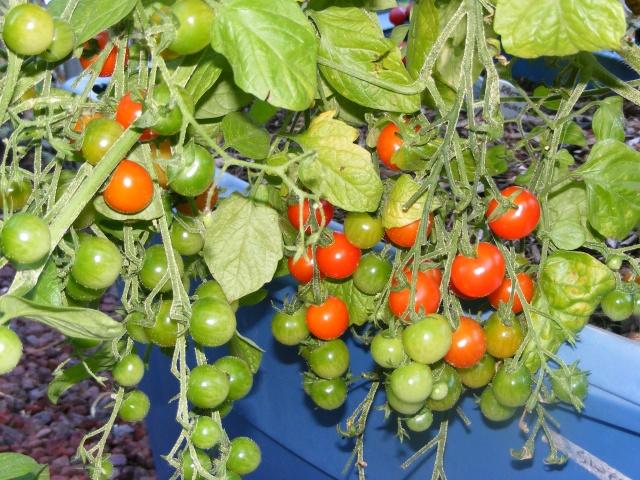 Tomato Tuesday 2015 Dscf0109
