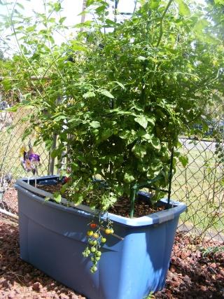 Tomato Tuesday 2015 Dscf0120
