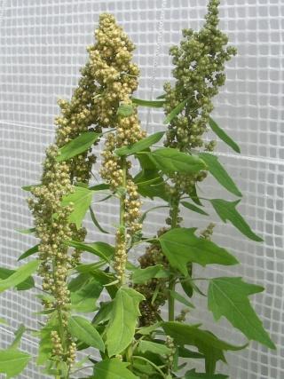 quinoa spaciing Dscf0188