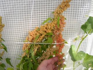 quinoa spaciing Dscf0192