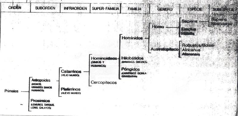 ~~Prehistoria~~ Paleoantropología Arbol_10
