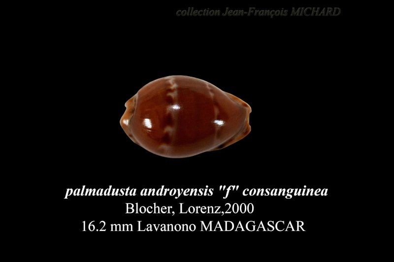 Palmadusta androyensis consanguinea - Blöcher & Lorenz, 2000 Cyprae10
