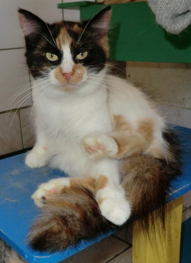 Malice - Tricolore  poils mi-longs - née en 2010*** Cimg1131