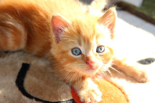 Toulouse chaton roux de 5-6 semaines Img_0710