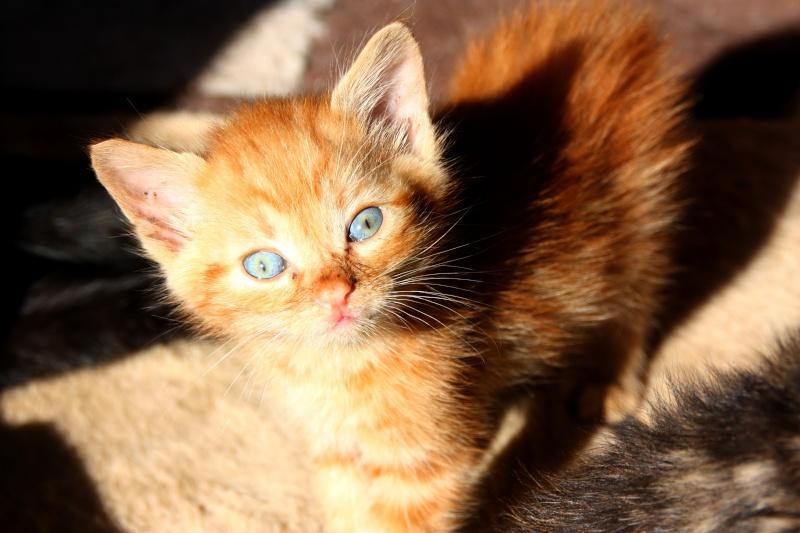 Simba chaton roux Img_0715