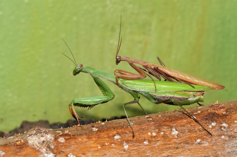 Quels terrarium choisir/construire Mantis10