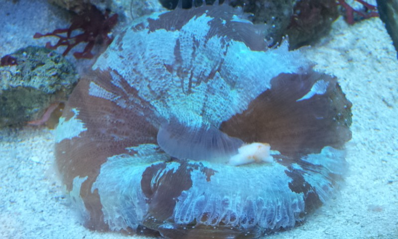 "Mon aquamedic chromis ""david59"" 2012-011"