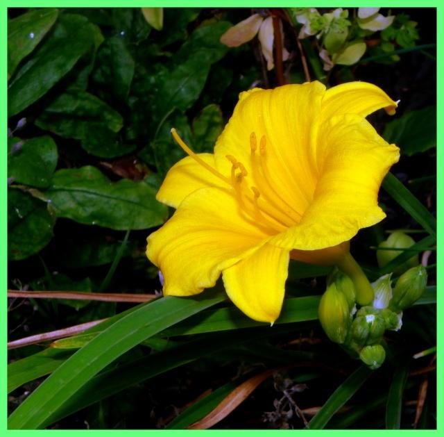Hemerocallis - des variétés Imgp4717