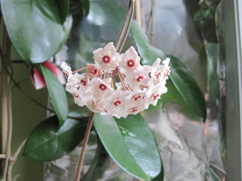 Hoyablüten 2012 - Seite 4 Juliau12