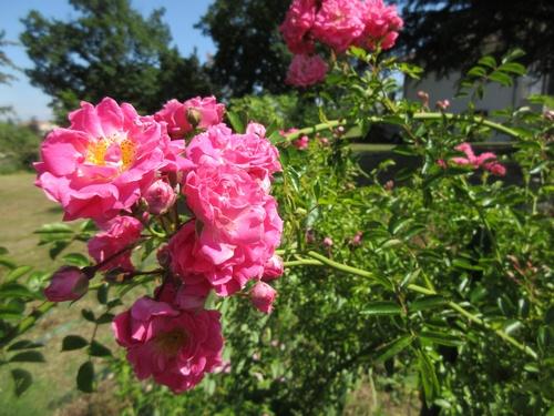 Le jardin m'appelle !!! - Page 37 D_perk10