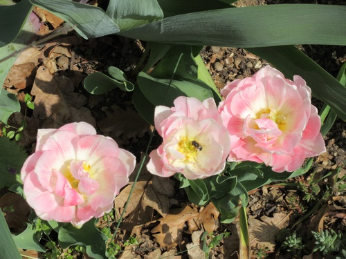 tulipe 2016 à 2019 - Page 5 Img_0221