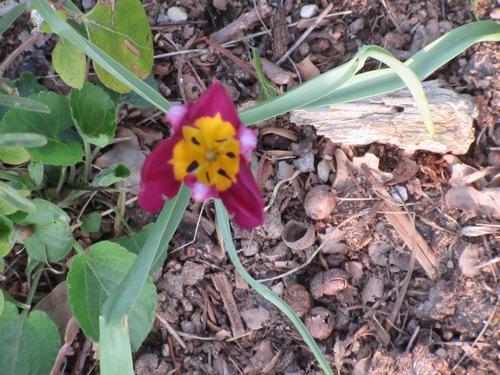 tulipe 2016 à 2019 - Page 6 Img_0222
