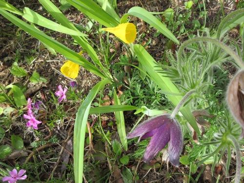 Trompette de méduse, Narcissus bulbocodium Img_0232