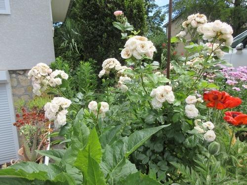 Rosa 'Bouquet Parfait' !!! - Page 9 Img_0448