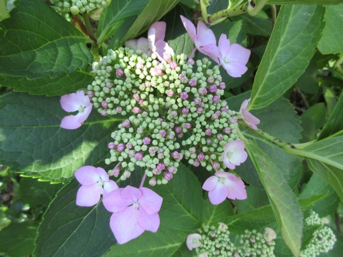 Hydrangea !!! - Page 4 Img_0613