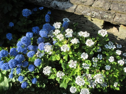 Hydrangea !!! - Page 5 Img_0629