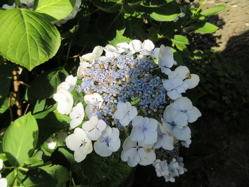 Hydrangea !!! - Page 5 Img_0630