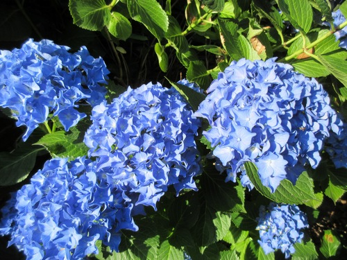 Hydrangea !!! - Page 5 Img_0631