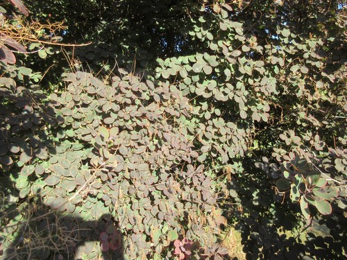 Cotinus coggygria !!! - Page 2 Img_0712