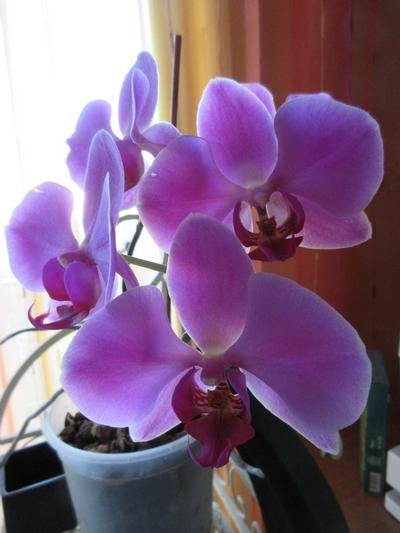 Phalaenopsis - Page 40 Img_0941