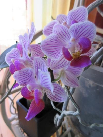 Phalaenopsis - Page 40 Img_0944