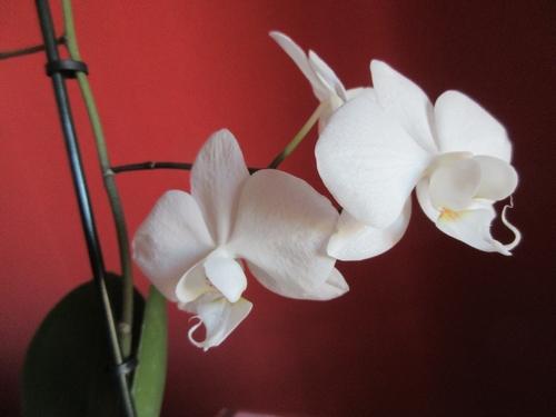 Phalaenopsis - Page 40 Img_0945
