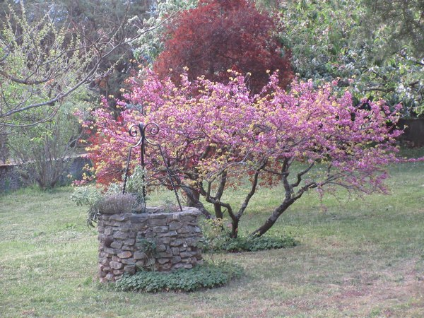arbre de Judée........... Cercis siliquastrum - Page 3 Img_1114