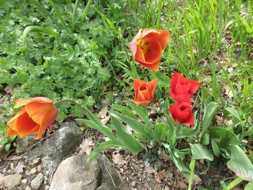 tulipes - Page 13 Img_1116