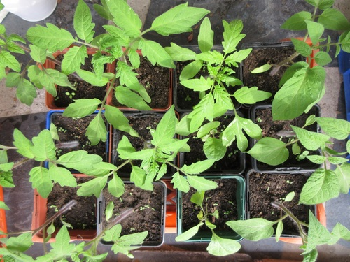 semis de tomates - Page 29 Img_1126
